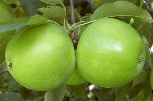 Mar Granny Smith